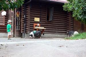 子豚の放し飼い