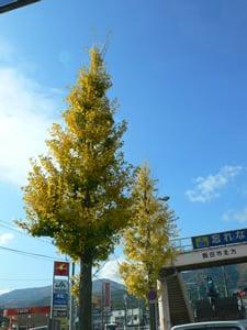 イチョウの街路樹
