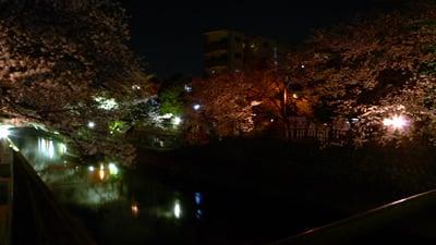 水門川の夜桜