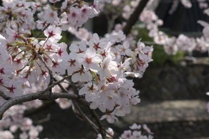 奥の細道むすびの地「船町公園」の桜