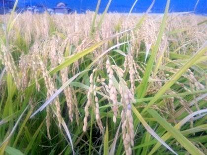 稲 稲お米が立派になると、重さで傾いていますよね?これが毎年見るできばえの光... お米作りをし