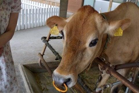 牧歌の里の牛さんの写真