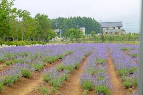 牧歌の里のラベンダー畑の写真