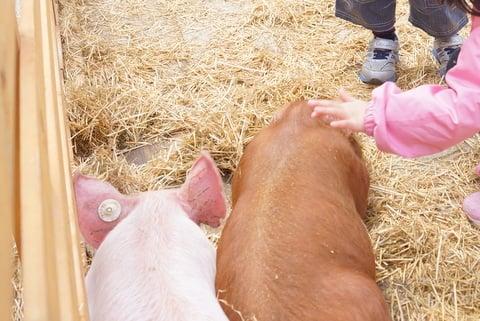 子豚さんたちの写真