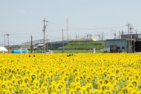 ドクターイエローとひまわり畑の写真